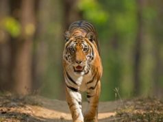 tiger_in_panna_national_park